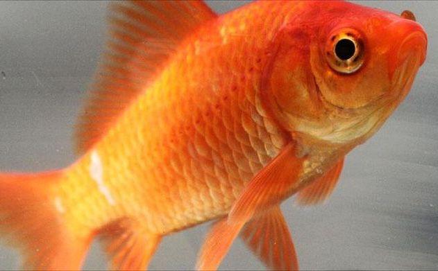 Kisah Ikan Mas Penyelamat Millwall dari Degradasi